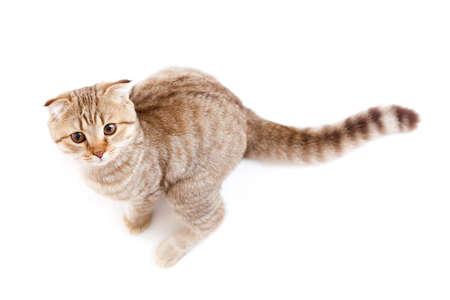 jumping kitten or cat  striped Scottish like kangaroo photo