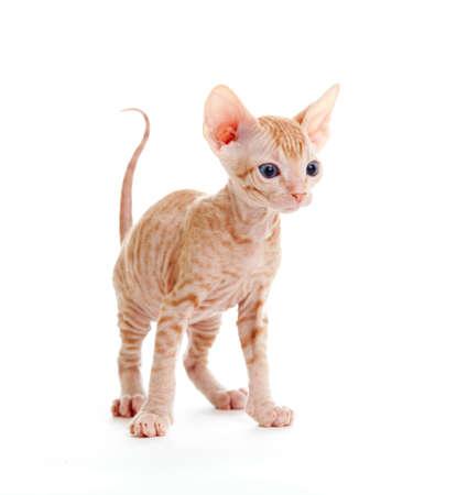 bare skinned: Funny hairless sphynx tabby kitten isolated