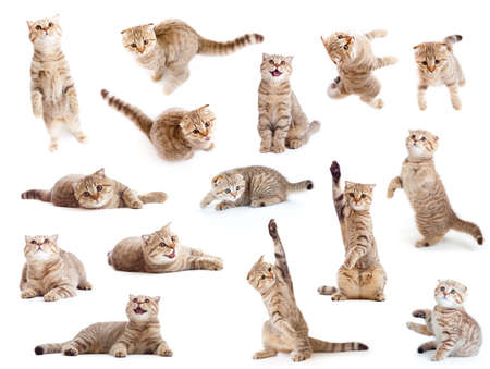 striped British cat and kitten isolated set photo