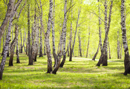 birch bark: birch forest or park