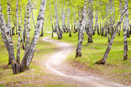 birch forest or park photo