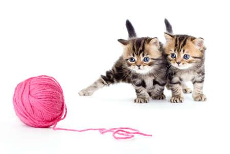groviglio: due razza pura gattino a strisce british isolato con bugna rosso