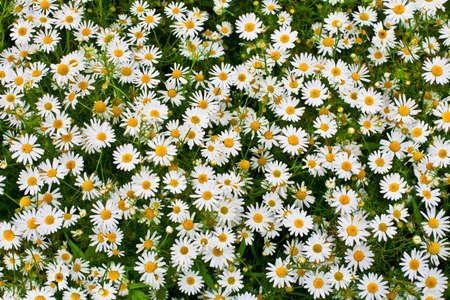 camomiles: camomile or ox-eye daisy meadow top view background