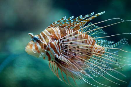 zebra lionfish: Pterois antennata fish or Lionfish