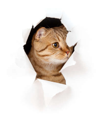 cat in paper side torn hole isolated Stock Photo - 10508255