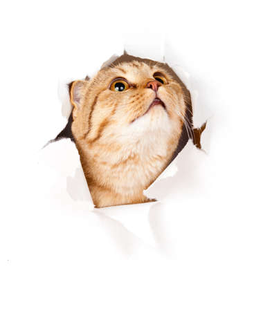 cat looking up in paper side torn hole isolated photo