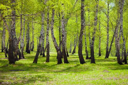 urban jungle: abedul bosque o un parque