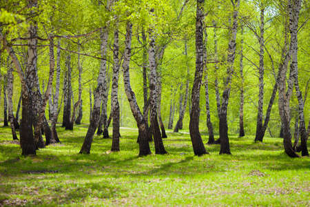 non urban scene: birch forest or park