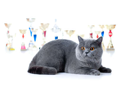 Champion cat with cups isolated on white Stock Photo - 10980137