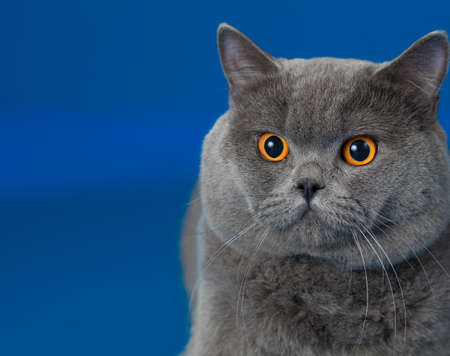british shorthair: British shorthair cat on blue