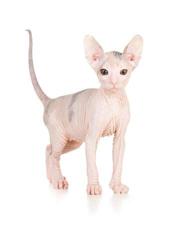 bare skinned: Funny hairless sphynx kitten isolated
