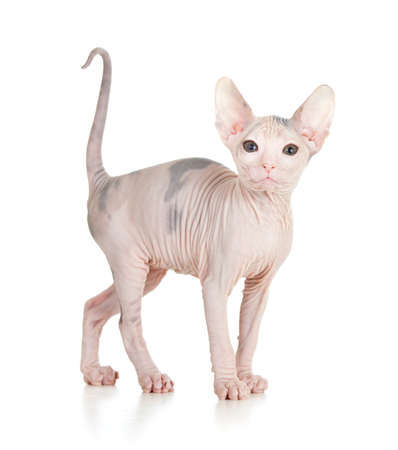 Gracioso pelo sphynx gatito aislados photo