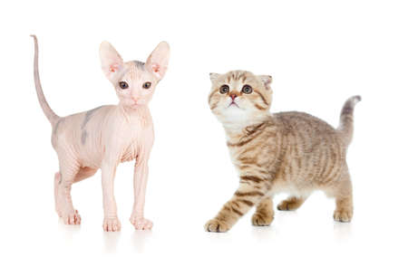 Funny hairless sphynx kitten isolated photo