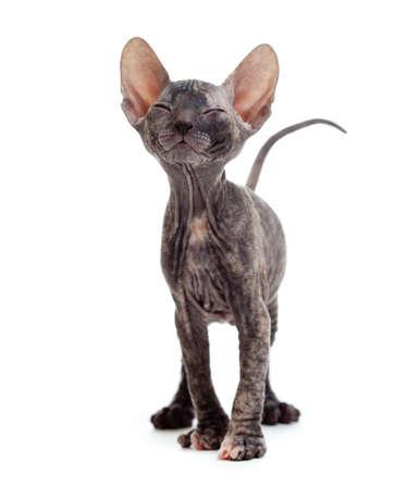Satisfied hairless sphynx kitten Stock Photo