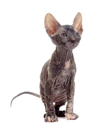 bare skinned: hairless sphynx kitten