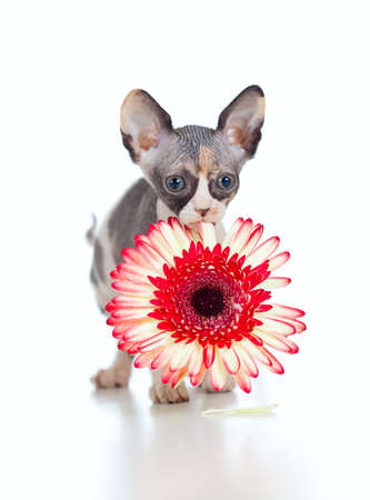 bare skinned: Canadian sphynx kitten with African daisy flower in her mouth