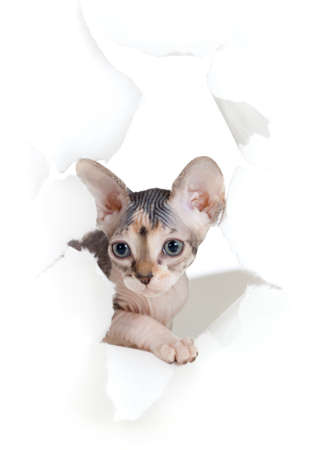 cat in paper side torn hole isolated photo