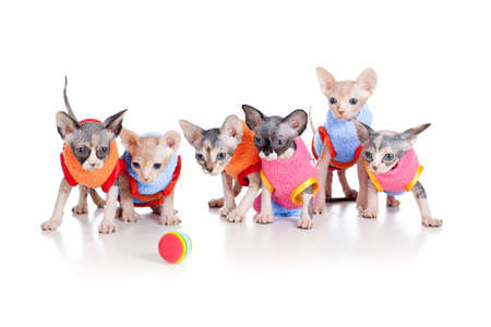 brood: Six funny hairless kittens with ball brood of Canadian sphynx Stock Photo
