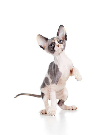 hairless sphynx kitten photo