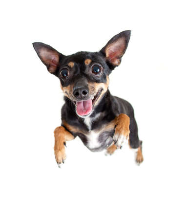 dog isolated: jumping flying toy terrier dog or top view Stock Photo