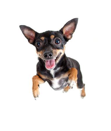 toy terrier: salto volante giocattolo cane terrier o vista dall'alto Archivio Fotografico