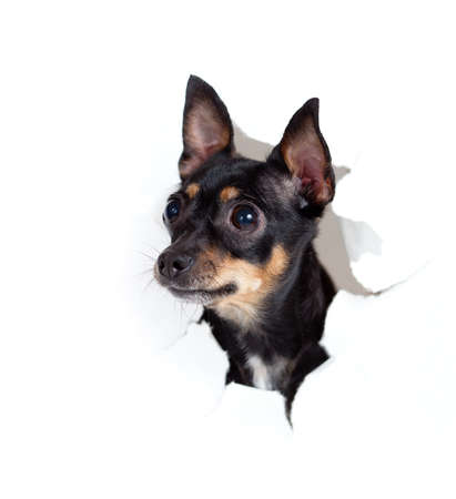 toy terrier dog in paper side torn hole isolated Stock Photo - 12783771