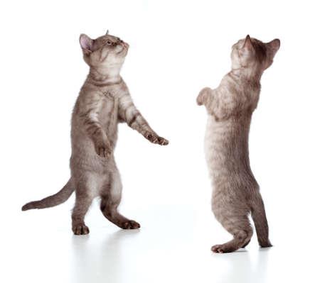 walking striped british kitten set isolated photo