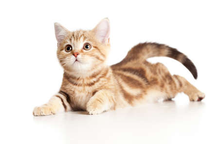 A playful kitten. Brittish breed. Tabby. Stock Photo - 12784853