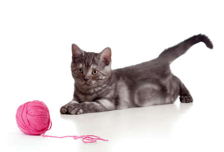 British cat playing red clew or ball isolated photo