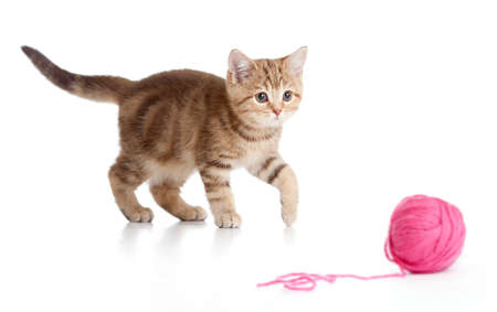 British kitten playing red clew or ball isolated photo