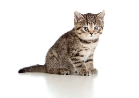 grey tabby: little kitten pure breed striped british isolated
