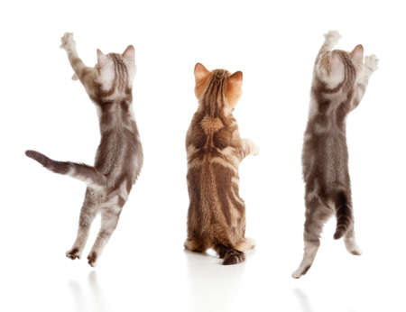 purebred cat: jumping british kitten rear view set