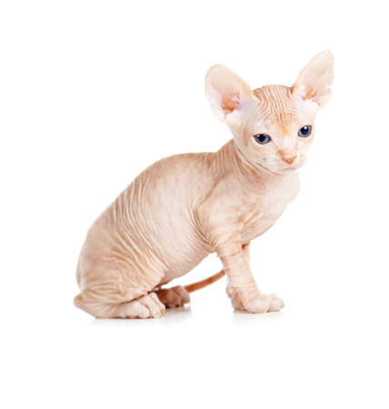 Divertido sin pelo sphynx gatito aislado photo