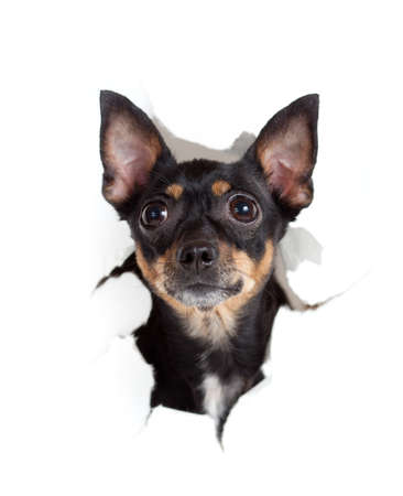 toy terrier dog in paper side torn hole isolated photo