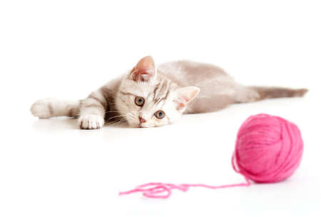 tabby british kitten playing red clew or ball isolated photo