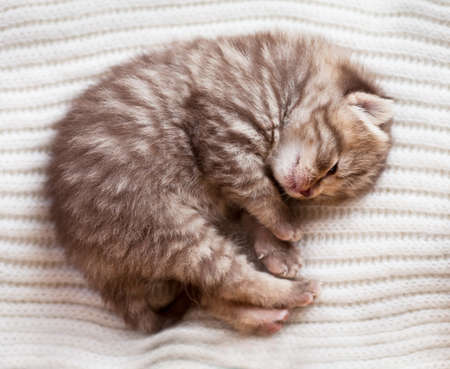 Newborn sleeping british baby kitten photo