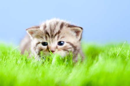 animal pussy: little tabby kitten Scottish lying on green grass
