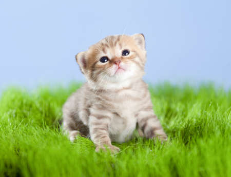 little tabby kitten Scottish looking upward on green grass photo