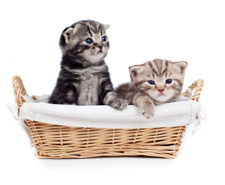 british pussy: two Scottish little kitten sitting in basket isolated on white