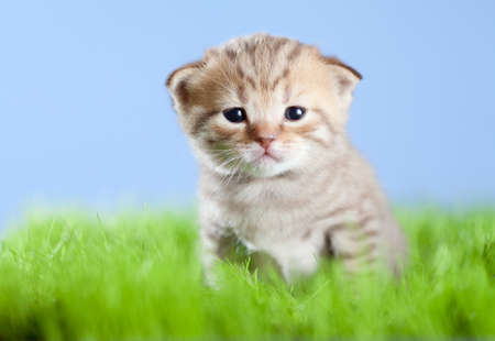 little tabby kitten Scottish on green grass photo