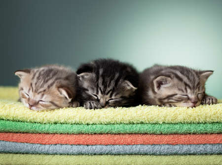 Three sleeping scottish baby kitten on stack of colorful towels photo