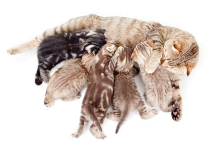 animals feeding: five kittens brood feeding by mother cat isolated