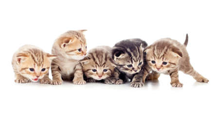 brood: five kittens brood isolated