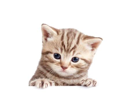 tabby cat: Scottish british baby kitten behind banner isolated on white Stock Photo