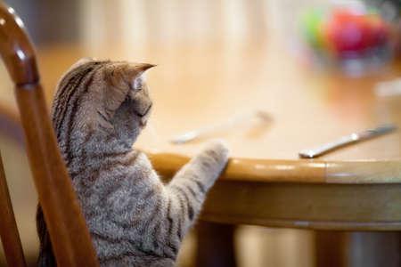 aliments droles: Cat attente pour la nourriture assis � la table comme l'homme Banque d'images