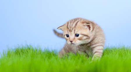 little tabby kitten Scottish on green grass photo