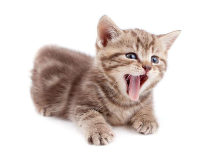 Yawning striped Scottish kitten lying isolated Stock Photo - 13359621