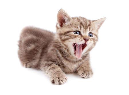 Yawning striped Scottish kitten lying isolated Stock Photo - 13359621