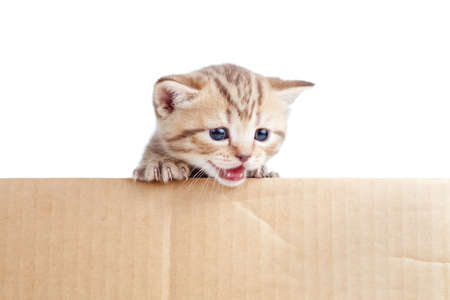 Scottish british baby kitten in cardboard box photo