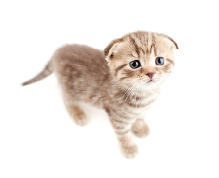 Scottish fold brown kitten top view isolated photo